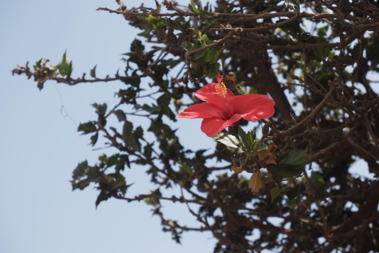Rote Hibiskus Blume auf Brava Insel